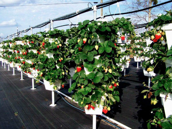 Открытие бизнеса по выращиванию клубники